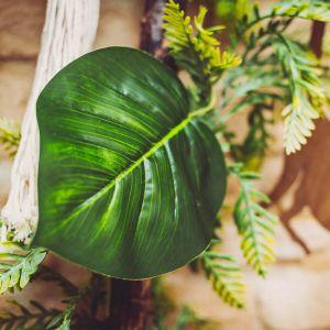 Decoratieblad Scindapsus
